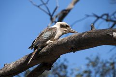 Laughing Kookaburra perched on bare tree branch getting ready to take flight royalty free stock image