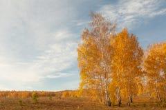 Autumn Russian björk Royaltyfria Bilder
