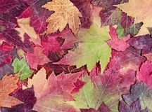 Autumn rustic colorful maple leaves background Stock Photos