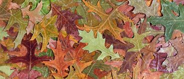 Autumn rustic colorful oak leaves background Stock Image