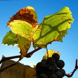 Autumn rusty grape leaves and grapes on a sunny day stock image