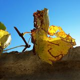 Autumn rusty grape leaves on a sunny day stock image