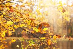 Autumn rusty leaves in full swing. Fallen gold landscape with ye. Llow and red tree foliage. Beautiful American forest background in the fall season. Colorful stock image