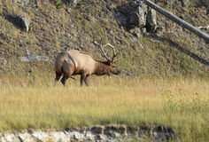 Autumn Rut Yellowstone Park Stock Afbeelding