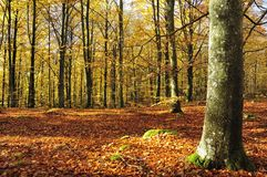 Autumn's beech forest Stock Photo