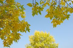 Autumn's Branches. A picture of autumn branches against blue sky Royalty Free Stock Photos