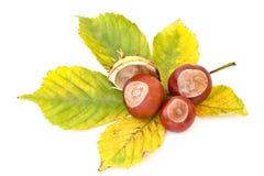 Autumn's chestnuts Stock Photos