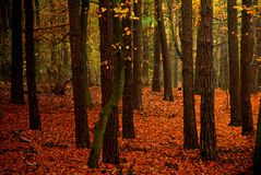 Autumn`s forest Royalty Free Stock Images