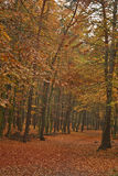 Autumn`s forest Stock Images