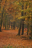 Autumn`s forest Royalty Free Stock Photo