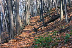Autumn's Wooded Path. A quiet autumn hiking path on the brow of the Niagara escarpment Bruce trail. The trees have now lost all their leaves which now blanket Royalty Free Stock Photo