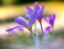 Autumn Saffron Foto de Stock