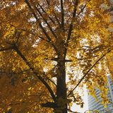 Beautiful tree in autumn, city of santiago de chile. The autumn in santiago, is full of beautiful colors, the leaves of the trees go from orange to yellow. these stock image
