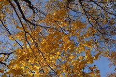 Autumn scene with beautiful maple trees. Branches with golden leaves in fall season.  stock image