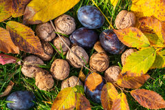 Autumn scene. Fall season scene with crop of fruits and walnuts in the garden. Beauty of the Autumn stock photography