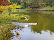 Autumn Scene, a family of ducks on the lake. After the summer, before winter, autumn Royalty Free Stock Image