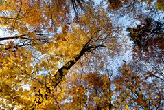 Autumn scene in the forest. Autumn scene with golden beech trees and blue sky royalty free stock images
