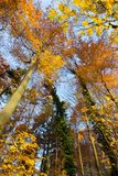 Autumn scene in the forest. Colorful autumn scene with golden beech trees and blue sky stock photo