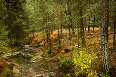 Autumn river landscape with brown ferns and pine trees royalty free stock photo