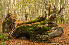 Free Autumn Scene, Log At Forest Opening With A Lot Of Fallen Leaves Around, Radocelo Mountain Royalty Free Stock Photos - 46202538
