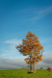 Autumn scene. Lone tree with colorful leaves on bright sunny Autumn day Stock Photo