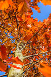 Autumn scene of oak tree with red leaves against b Royalty Free Stock Images