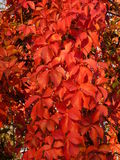 Autumn scene with red leaves Stock Photo