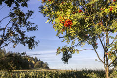 Autumn Scene with Rowan Berry Tree. And Blue Sky stock photos