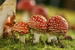 Autumn scene: Three little toadstools Stock Photos