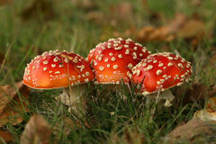 Autumn scene: three toadstools close together Royalty Free Stock Image