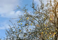 Autumn scene of a tree with yellow apples. An apple tree on the blue sky in a sunny day stock photo