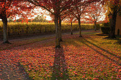 Autumn scene,trees,vineyares. Sun setting behind the vineyards and trees, fall colors Stock Photos
