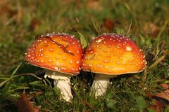 Autumn scene: two toadstools close together Royalty Free Stock Image