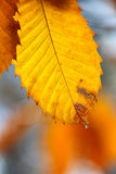 Autumn scene with water drop hanging on a leaf Stock Image
