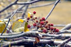 Autumn scene, wild blackberries and leafless branches stock images