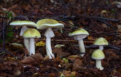 Autumn scene with group of mushrooms stock image