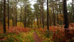 Autumn scene in a woodland in Devon England. An autumn scene in a woodland on Woodbury Common in Devon South West England stock photography