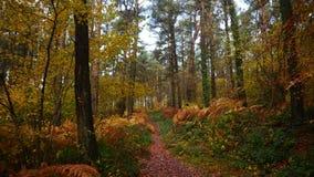 Autumn scene on a woodland track in Devon England. An autumn scene on a woodland track on Woodbury Common in Devon South West England stock photos