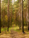 Autumn scenery. Small path in quiet pine forest Stock Photography