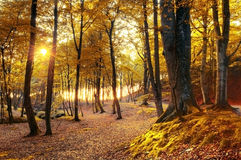 Autumn scenery. Beautiful gold fall in forest Royalty Free Stock Photo