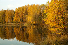 Autumn scenery. Birch forest and pond in autumn scenery Stock Photo