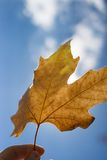 Autumn scenery, beautiful maple leaf Royalty Free Stock Images