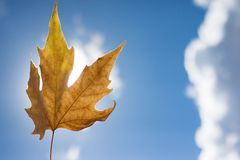 Autumn scenery, beautiful maple leaves. Stock Photography