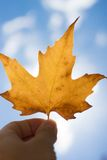 Autumn scenery, beautiful maple leaves. Royalty Free Stock Photos