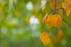 Autumn scenery, beautiful maple leaves. Royalty Free Stock Photo