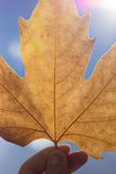 Autumn scenery, beautiful maple leaves. Stock Photo