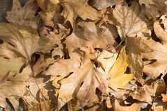 Autumn scenery, beautiful maple leaves Royalty Free Stock Photography