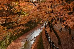 Autumn scenery. Beautiful red maple leaves fall in garden. Stock Images