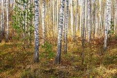 Autumn Scenery: Berk en Sparbos met Gouden Gebladerte in Sunny Day stock fotografie