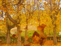 Autumn scenery with a deciduous tree and its yellow leaves. stock images